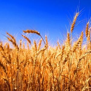 По данным РИА Новости, весной власти Краснодарского края ожидали получить в 2014 году урожай не ниже прошлогоднего — около 12 миллионов тонн. По новым прогнозам, аграрии края ожидают 13,8 миллиона тонн зерновых.