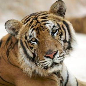тигр Кузя