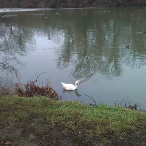 лебедь в ростовском парке на Каменке