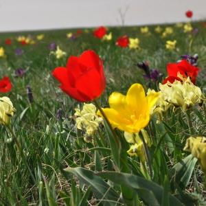 В долине Маныча прошёл фестиваль тюльпанов