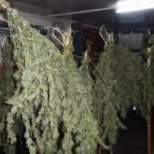В Ростове был задержан 28-летний мужчина, который занимался выращиванием конопли, сообщает http://bloknot-rostov.ru