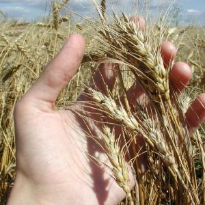 Аграрии Ростовской области, по всей вероятности, рекорд прошлогоднего урожая побить не смогут.