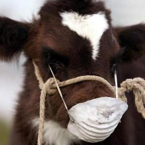 В хуторе Снежном Дубовского района Ростовской области во время плановых ветеринарных обработок у 13 животных диагностировали бруцеллёз КРС