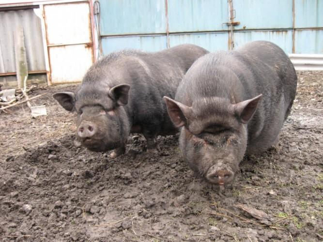 фото свиней вьетнамских